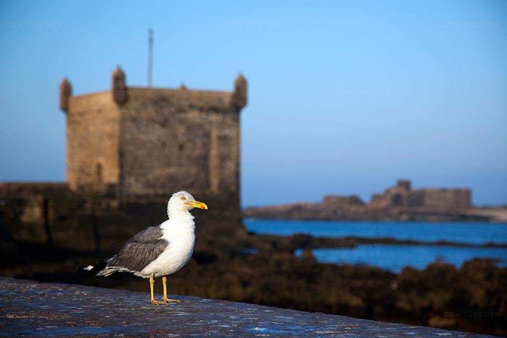 morocco-essaouira-seagull