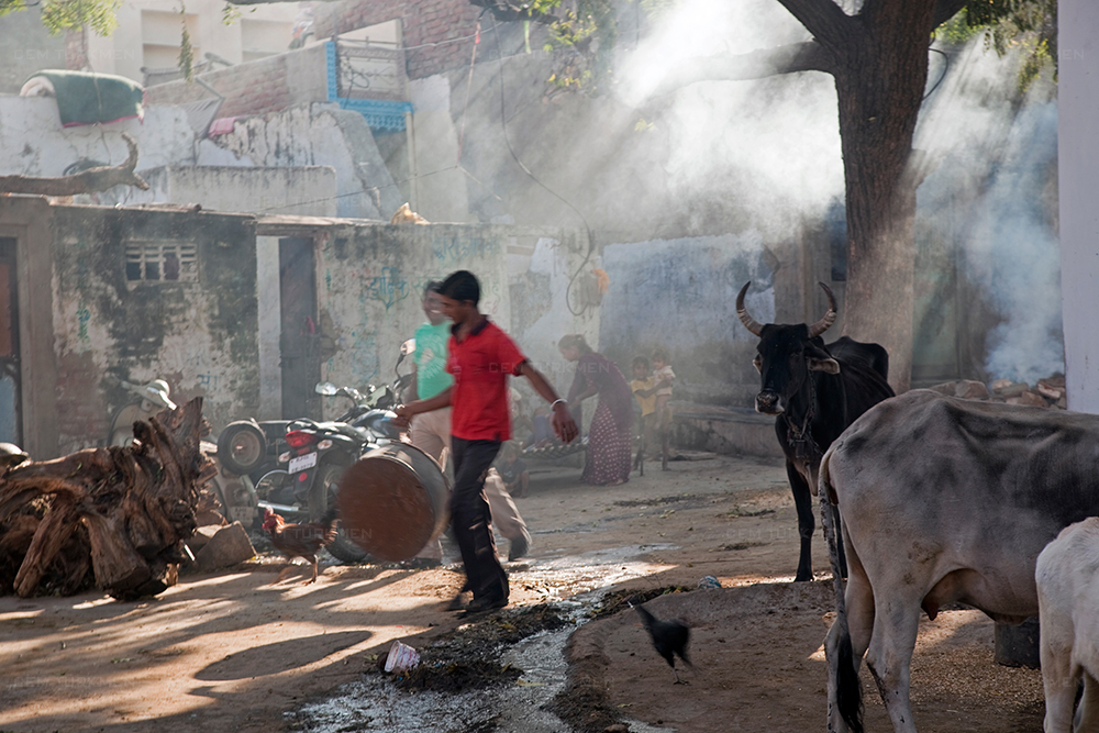 india-pushkar-cow-light